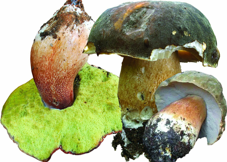 Боровик бронзовый дубовый