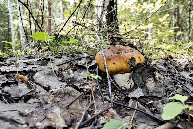Валуй russula foetens