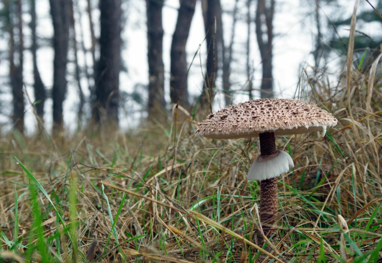 Гриб зонтик высокий