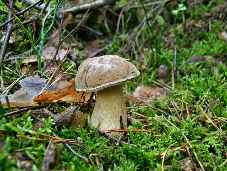 Желчный гриб (ложный белый, горчак)