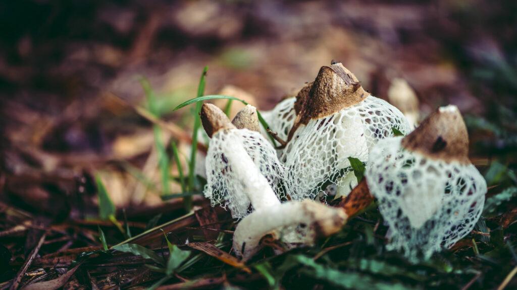 Веселка лечебный гриб