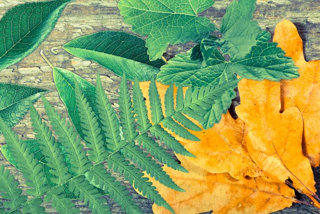 Свежие сушеные листья