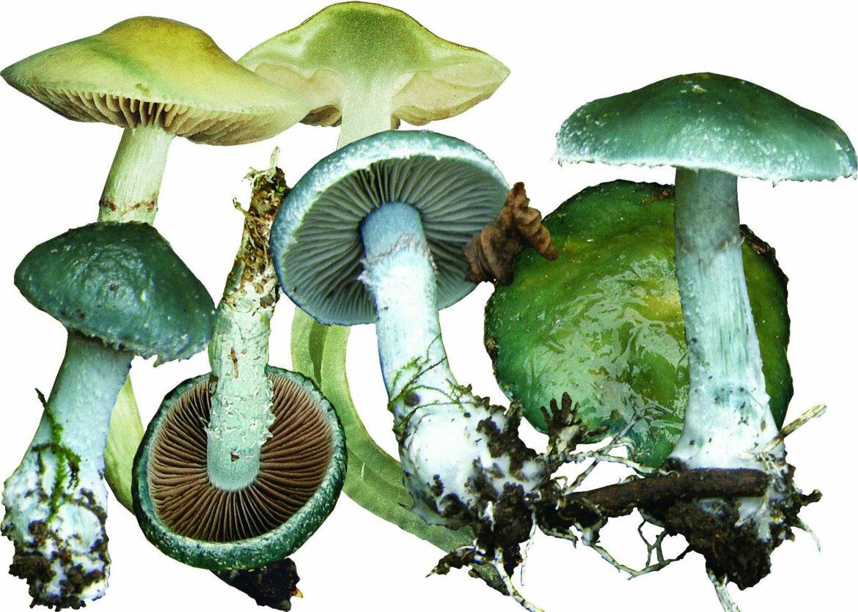 Строфария сине зеленая