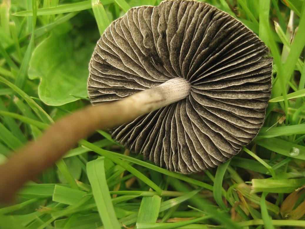 Панэолус каемчатый